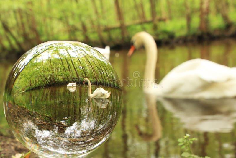 在glassball看见的天鹅 免版税库存照片
