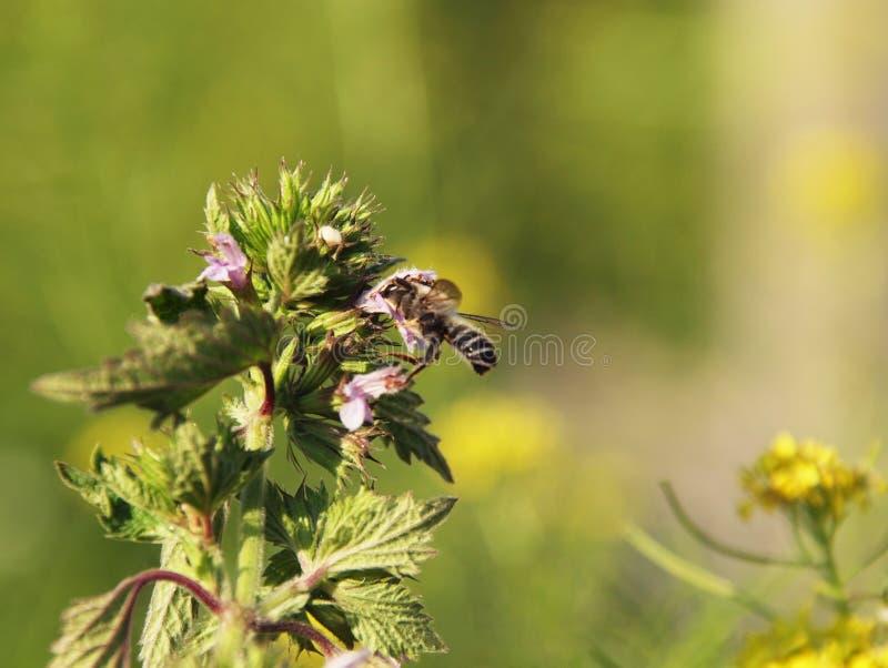 在Glechoma hederacea的野生蜂 库存图片