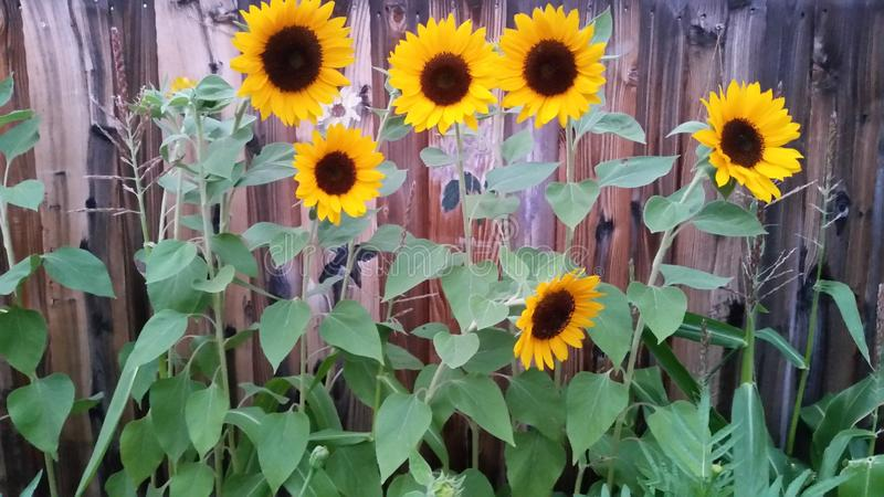 在grandma& x27的向日葵;s庭院 库存图片