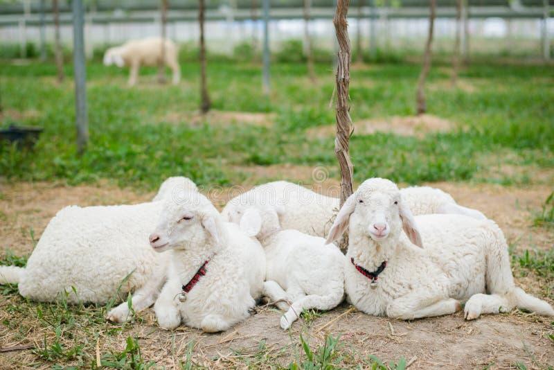 在grapeyard的绵羊 免版税库存图片