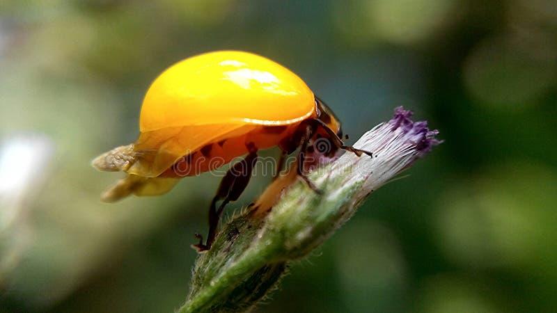 在grassflower的特写镜头黄色甲虫 免版税库存照片