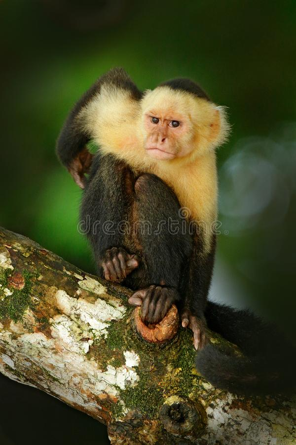 在gree回归线植被的Cebus capucinus 白头的连斗帽女大衣,黑猴子坐树枝在黑暗的热带前面 库存图片