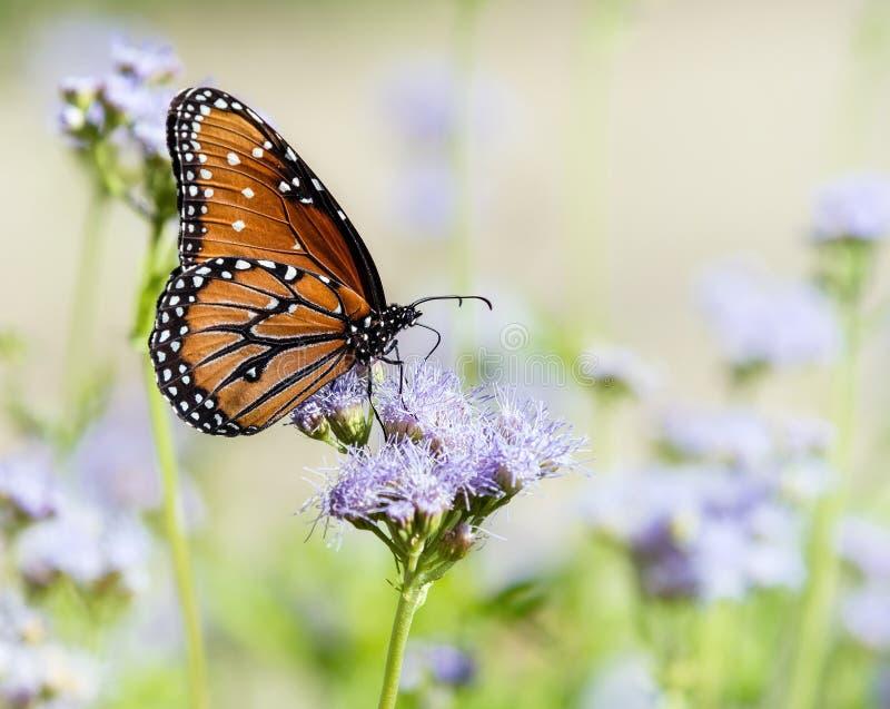 在Greggs Mistflowers的女王/王后蝴蝶 免版税图库摄影
