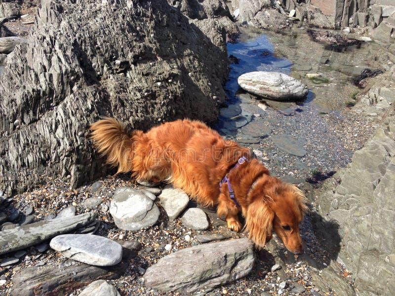 在Grunta海滩,德文郡的长发达克斯猎犬 免版税库存照片