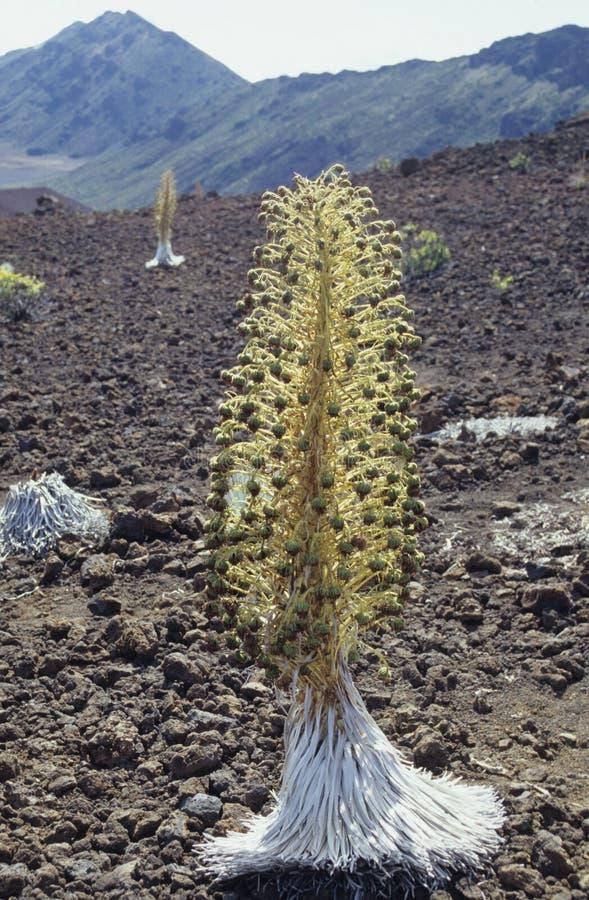 在Haleakala的Silversword 免版税库存图片