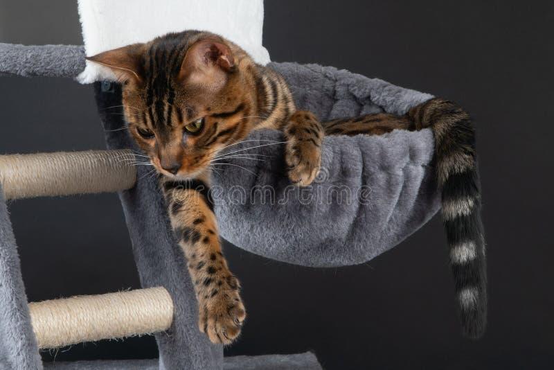 在hammok,clouse的美丽的孟加拉猫 免版税库存图片