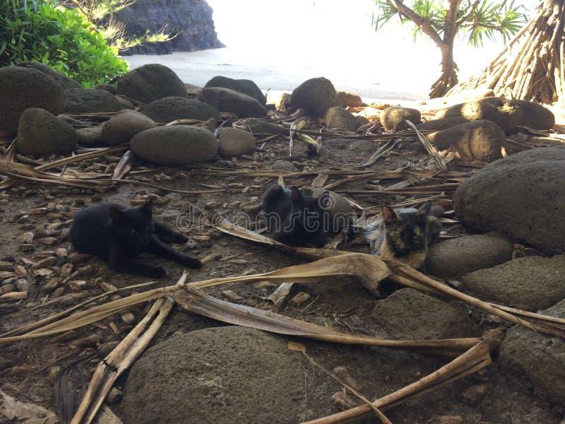 在Hanakapiai海滩的猫在考艾岛海岛,夏威夷- Kalalau足迹上的Na梵语海岸 免版税库存照片