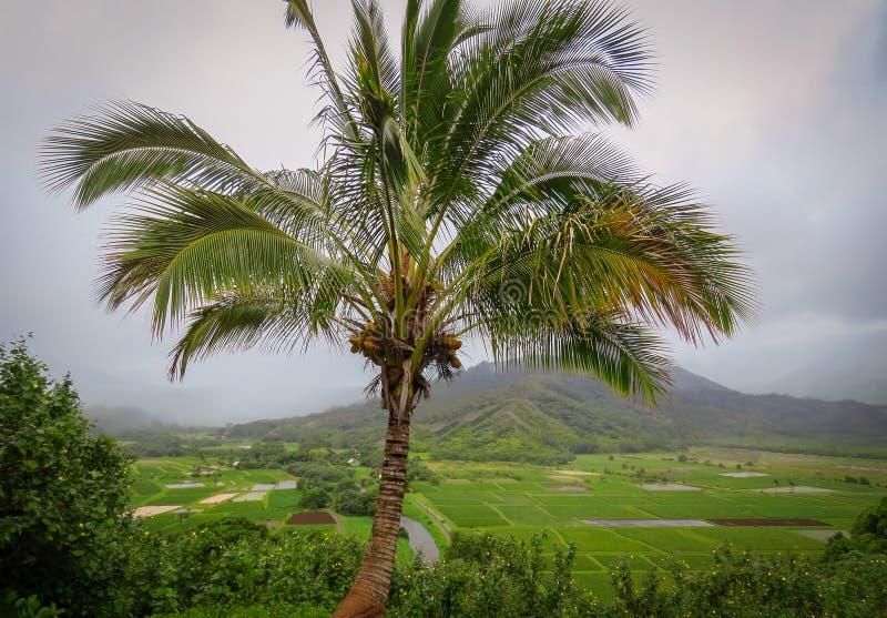 在Hanalei谷监视、芋头领域和山,考艾岛,夏威夷,美国的Palmtree 免版税库存照片