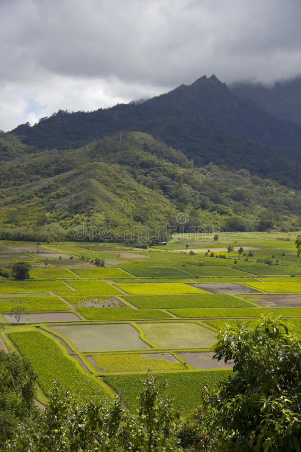 在Hanalei谷,考艾岛,夏威夷的芋头领域 库存图片