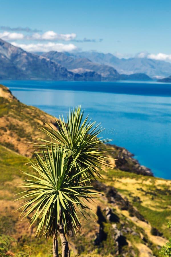 在Hawea湖和南岛附近新西兰美丽的山的圆白菜树  免版税图库摄影