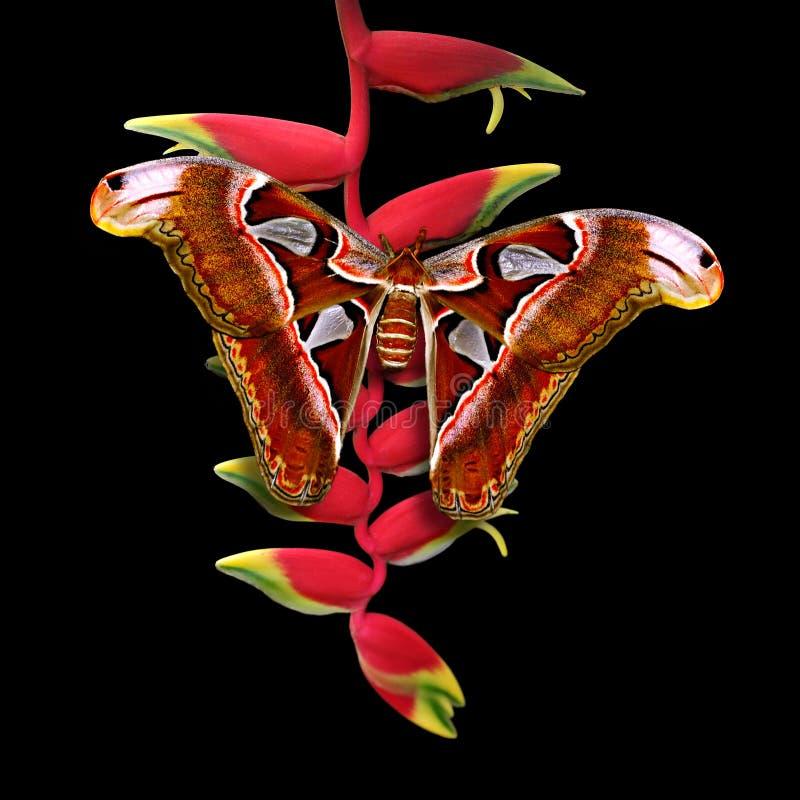 在heliconia花的地图集飞蛾有黑背景 免版税库存图片