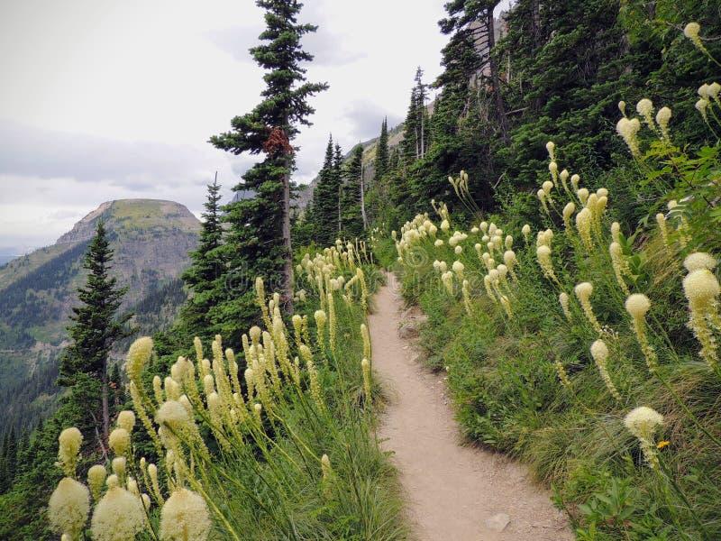 在Highline足迹的Beargrass北美药草tenax白花在摇石传递去到太阳路在冰川国家公园U 免版税库存图片