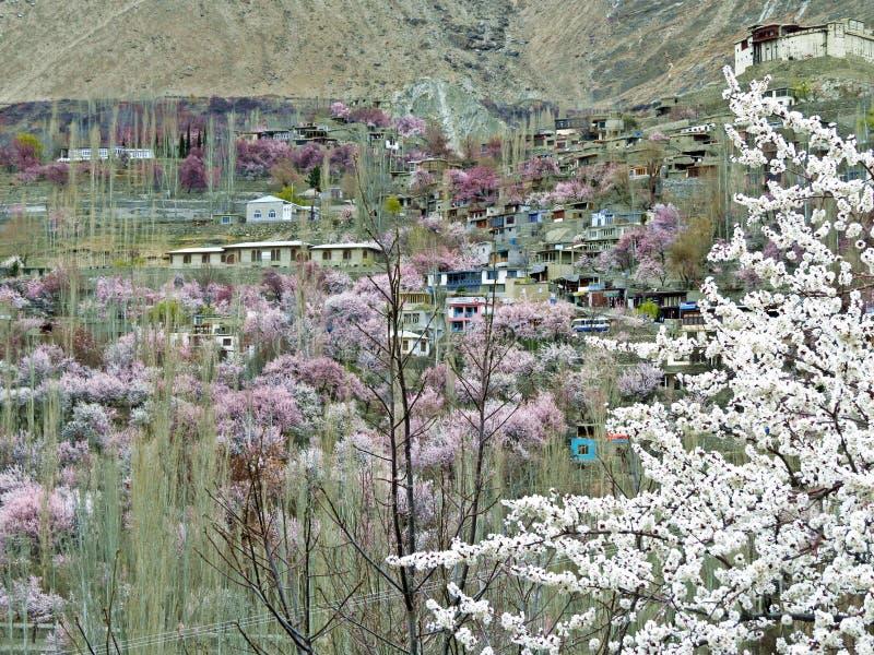 在Hunza谷,喀喇昆仑山脉高速公路,巴基斯坦的开花的樱桃和杏树 库存照片