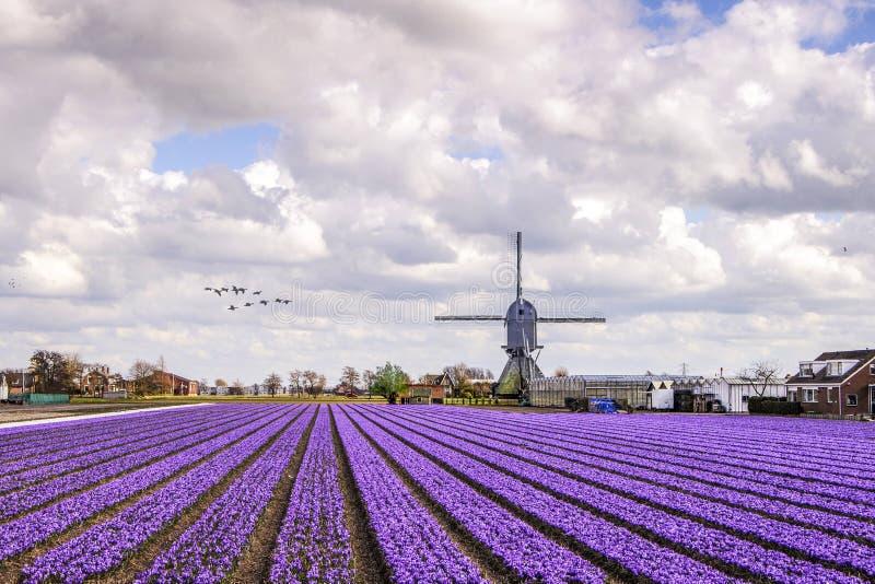 在hyacinthes电灯泡农场的风车 库存照片