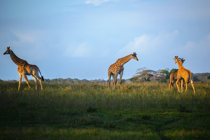 在Isimangaliso沼泽地的长颈鹿停放,圣卢西亚,南非 免版税图库摄影