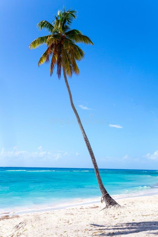 在Isla Saona海滩的棕榈树  免版税库存图片