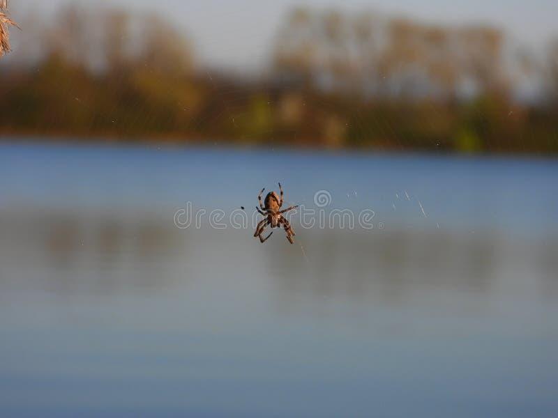 在itÂ的网中间的蜘蛛 库存图片