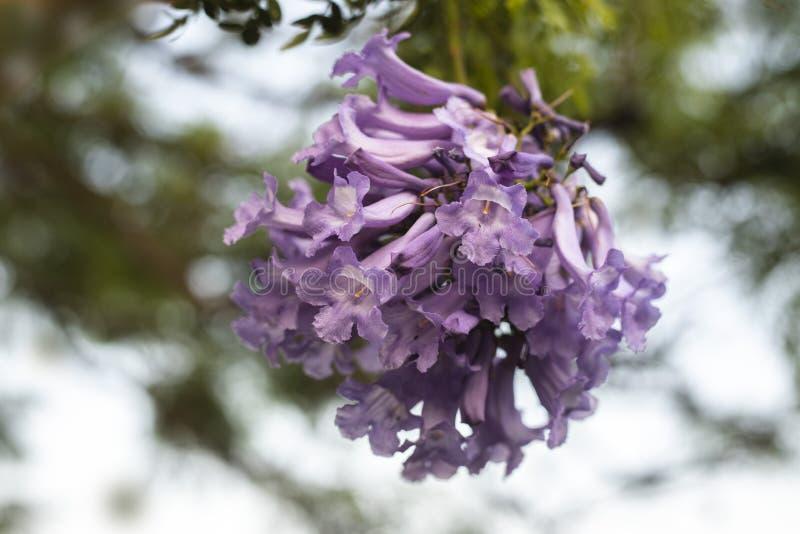 在jakaranda开花的树分支的淡紫色花  免版税库存照片