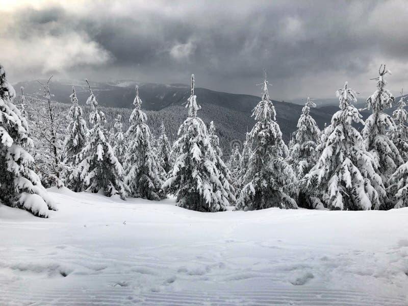 在Jeseniky山的冷杉木 库存图片