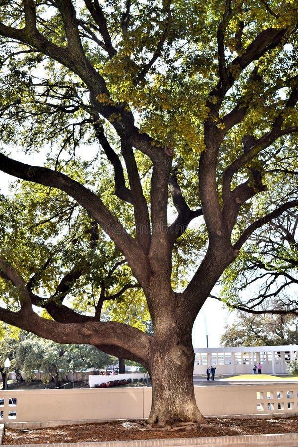 在JFK刺杀达拉斯TX的大树 免版税图库摄影
