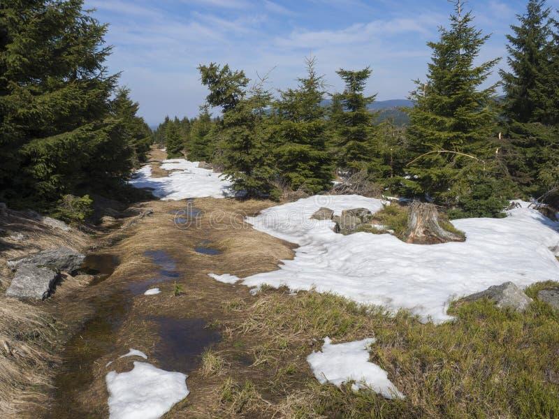 在Jizerske hory山的小径在有豪华的绿色云杉的树森林的春天和熔化的雪水坑在好日子 库存图片