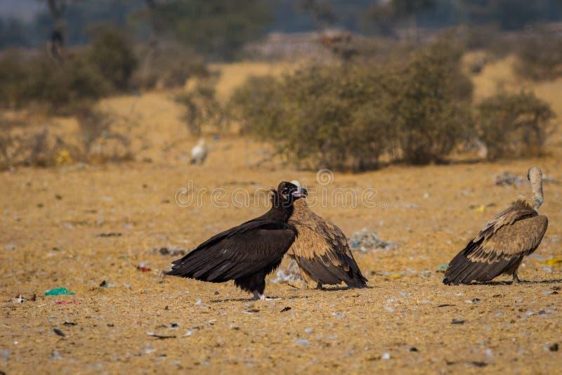 在Jorbeer保护储备,bikaner的灰黑色vultureAegypius monachus特写镜头 免版税图库摄影
