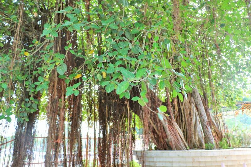 在Jyotisar, Kurukshetra的神圣的榕树 免版税图库摄影