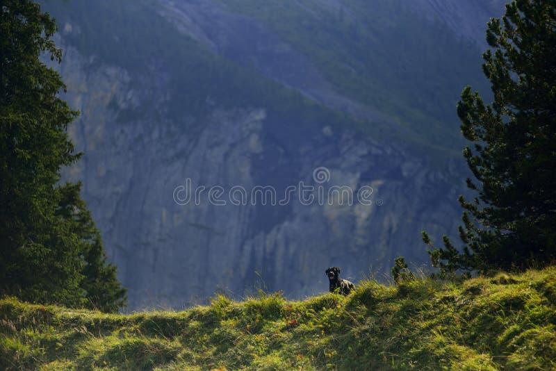 在Kandersteg山的乌鸦罗马尼亚shepard狗 瑞士 库存图片