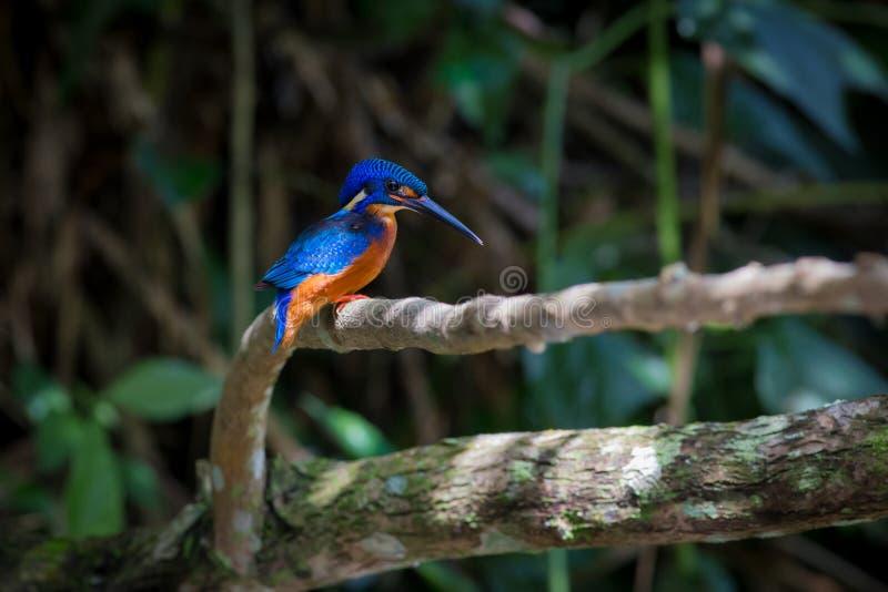 在Kaoyai泰国的蓝色有耳的翠鸟 免版税库存图片