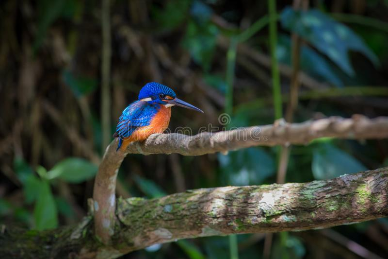 在Kaoyai泰国的蓝色有耳的翠鸟 图库摄影
