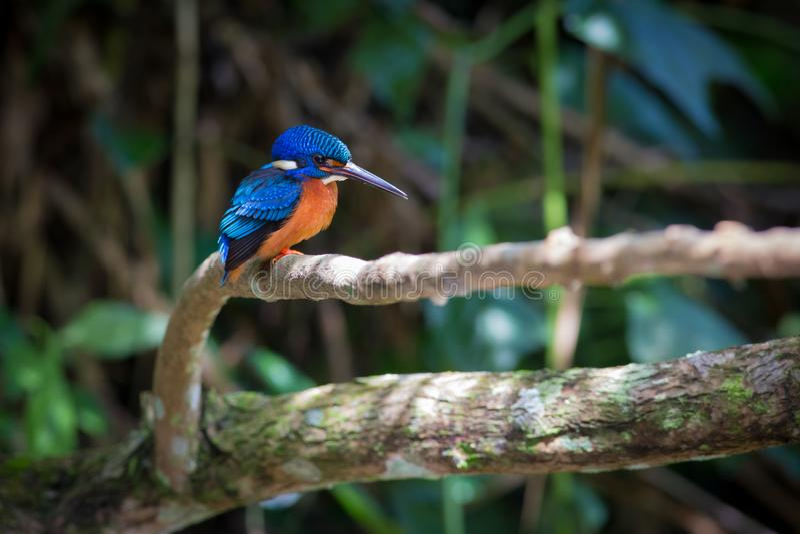 在Kaoyai泰国的蓝色有耳的翠鸟 库存图片