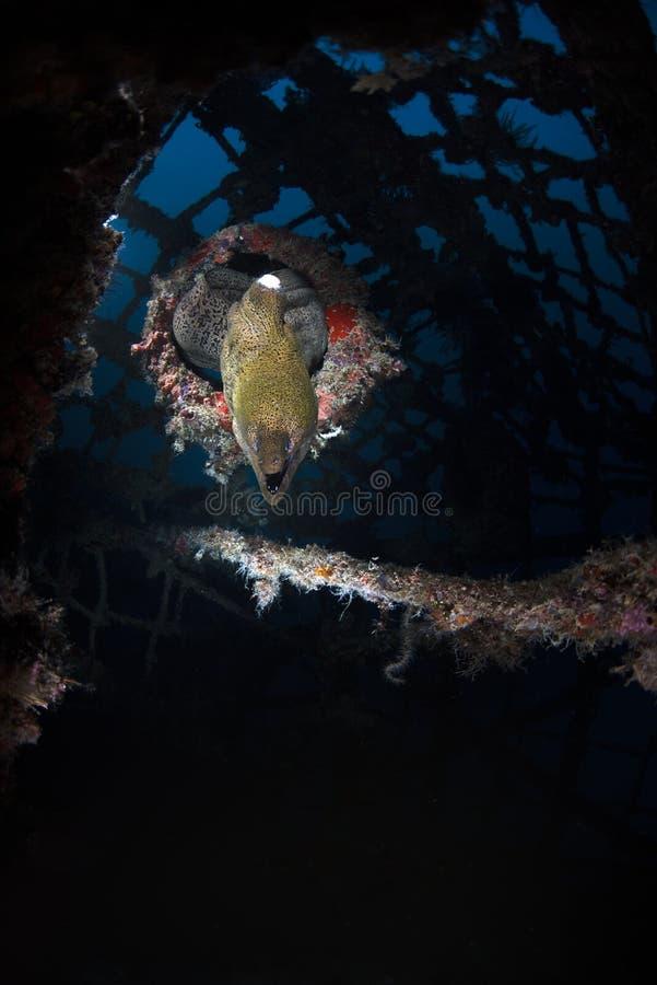 在Kapalai下潜手段的海鳝Muraenidae 库存图片