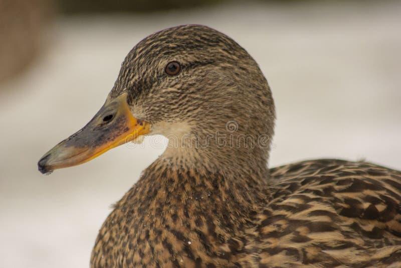 在Karela堡垒的鸭子 库存照片