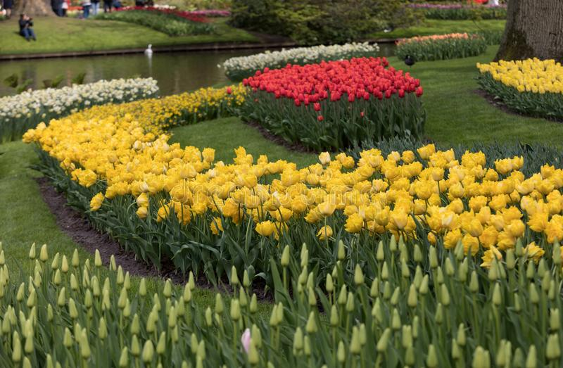 在keukenhof的五颜六色的花在利瑟,荷兰从事园艺