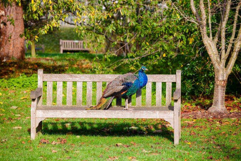 在Kew庭院的孔雀停放西南伦敦英国英国 库存照片