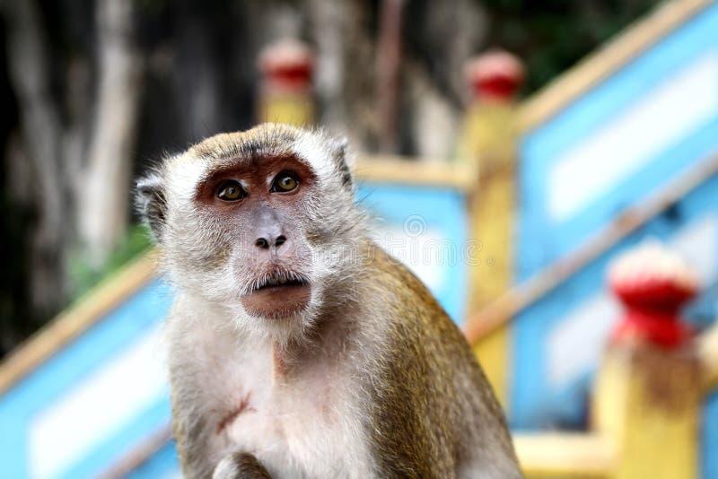 在KL马来西亚的猴子 免版税库存图片