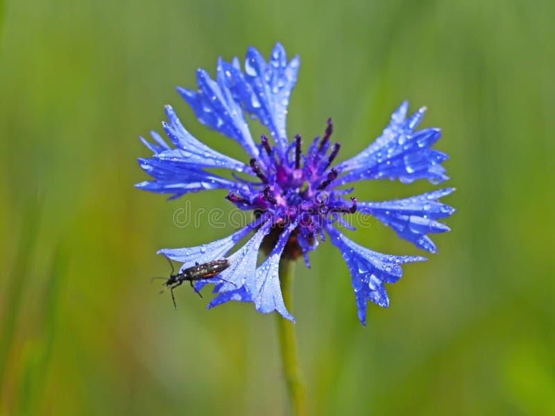 在Knapweeds花的昆虫在阳光下 在小滴的一朵蓝色花在被弄脏的绿色背景的露水 草甸的植物  免版税库存图片