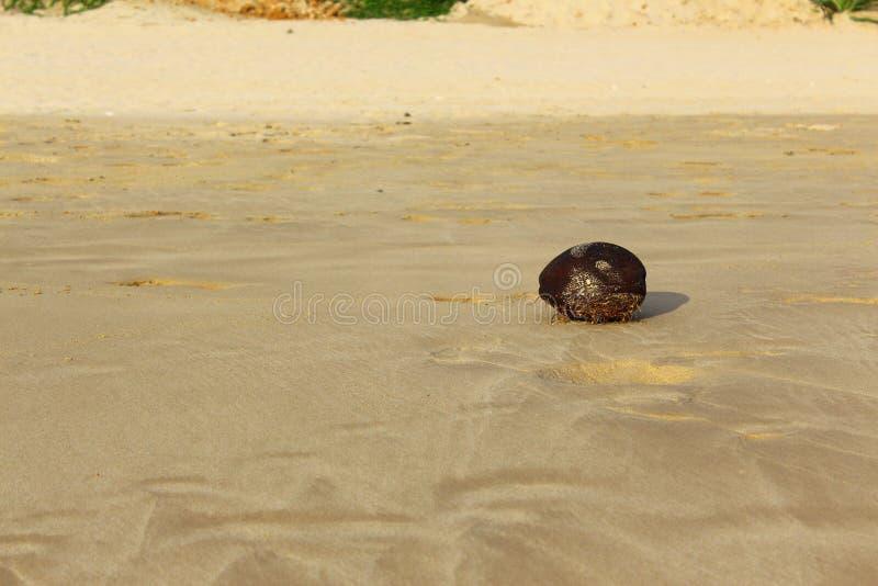 在Koggala海滩的椰子 库存图片