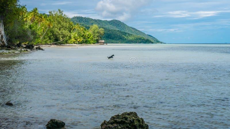 在Kri海岛,尾随狩猎在水中,王侯Ampat,印度尼西亚,西部巴布亚上的低潮期间 库存照片