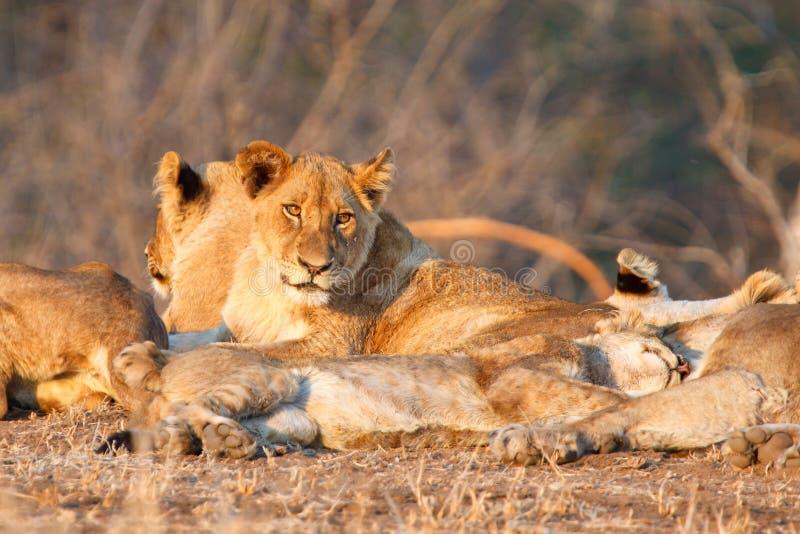 在Kruger NP的狮子自豪感 库存图片