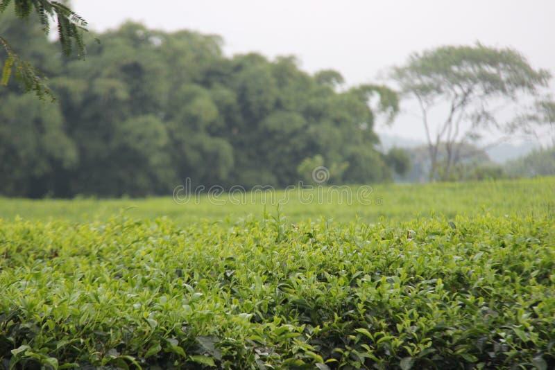 在kuneer小山,玛琅-印度尼西亚的新鲜的绿色茶叶 免版税库存照片