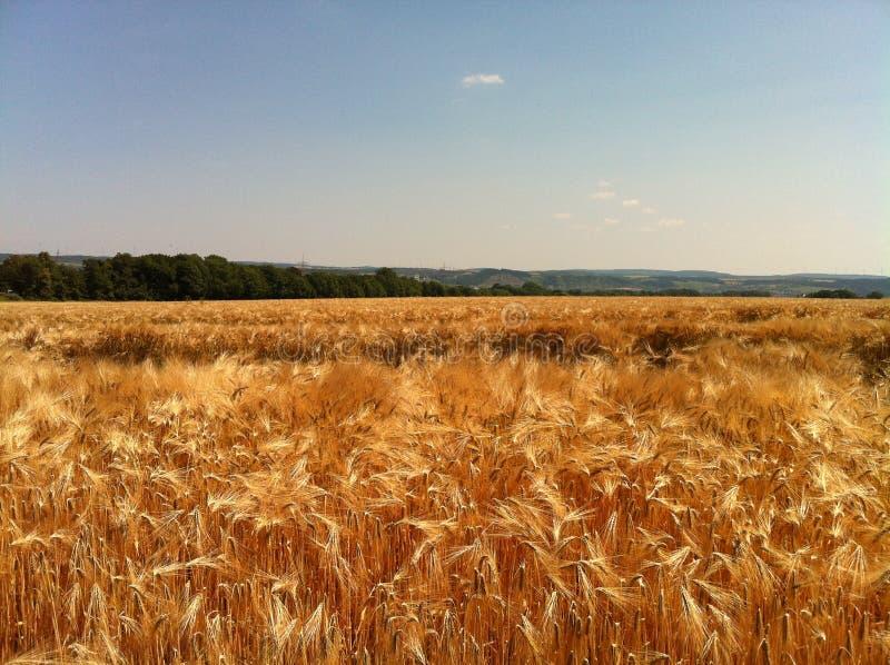 在la法国的麦子 库存图片