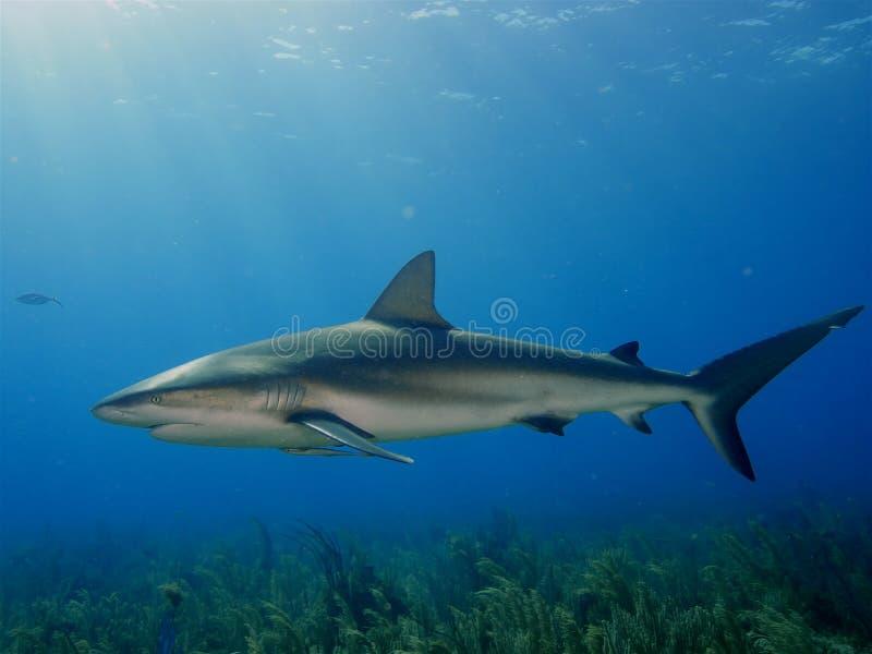 在La Jardin de la Reina,古巴的加勒比礁石鲨鱼 免版税库存照片