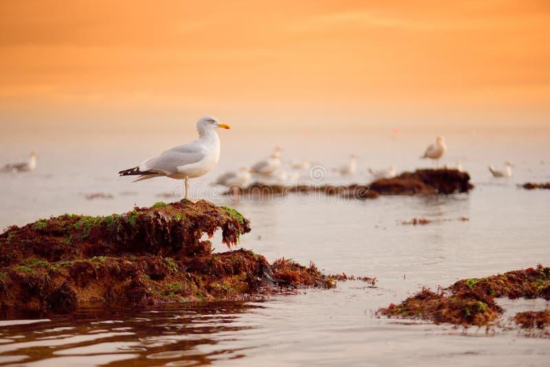 在Ladram海湾的印象深刻的红砂岩的附近海鸥在侏罗纪海岸,英吉利海峡海岸的一个世界遗产名录站点的 免版税库存照片