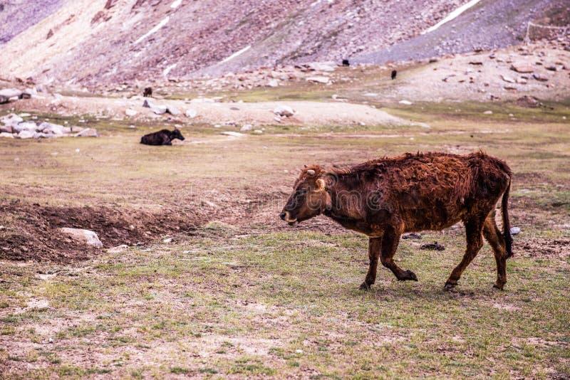 在Leh的山羊 图库摄影