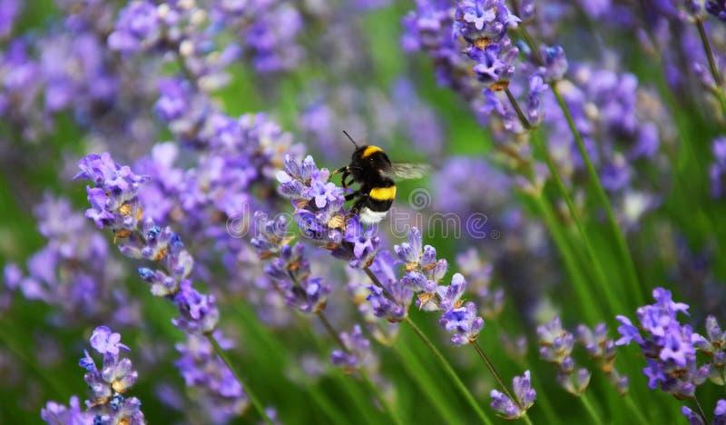 在Levander花之间的土蜂 库存照片
