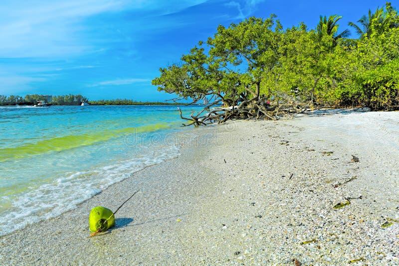 在Lido钥匙的椰子,萨拉索塔 免版税库存图片