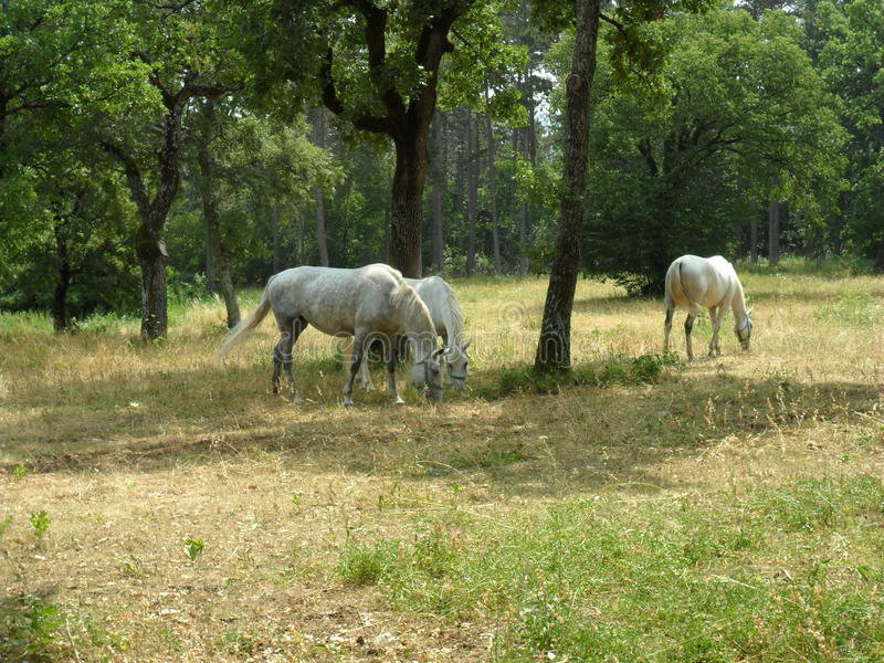 在Lipica - Slovenien的白马 免版税库存照片