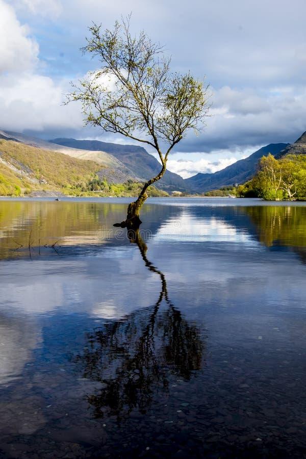 在Llanberis, Snowdonia国家公园-威尔士,英国的孤立树 库存图片