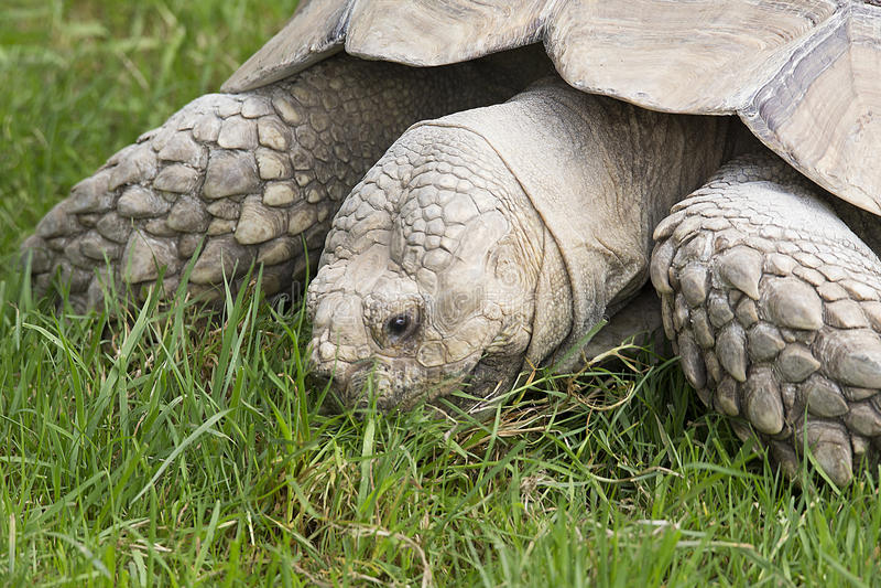 在Longleat野生生物公园的巨型草龟 免版税库存照片